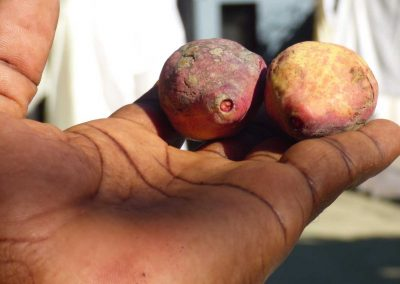 small potatoes or root vegetable held in the tips of a hand