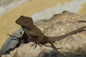 small lizard on stone facing left
