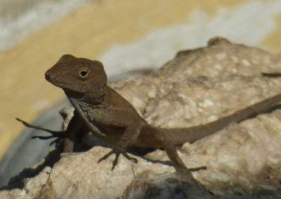 small lizard on stone facing left