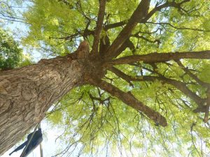 picture look up into canopy of large tree from the ground