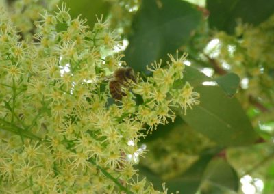a bee in leaves and small flowers in tree
