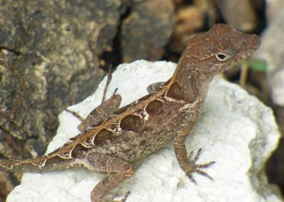 small lizard on stone facing right